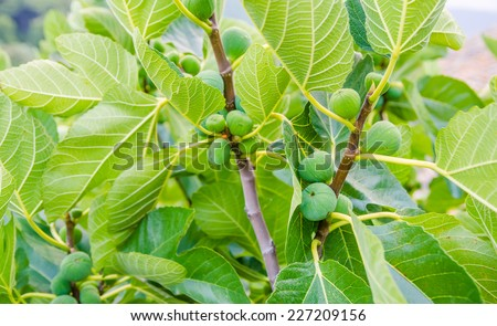 Green fig fruits on branches with green leafs - stock photo