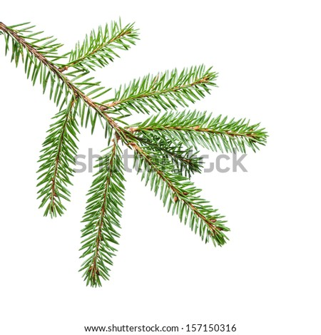 green fir branch for decoration, isolated on white - stock photo