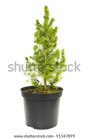 green fir tree in a pot  on white background