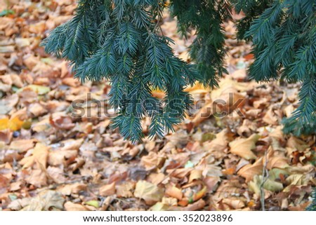 Green fir tree or pine branches with fallen leaves in winter. - stock photo