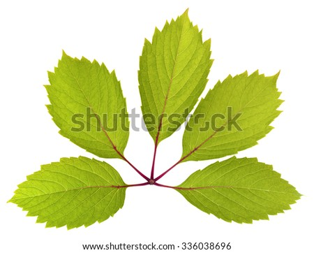 green five-pointed leaf parthenocissus, isolated on white background