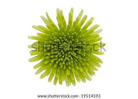 Green flower isolated on a white background