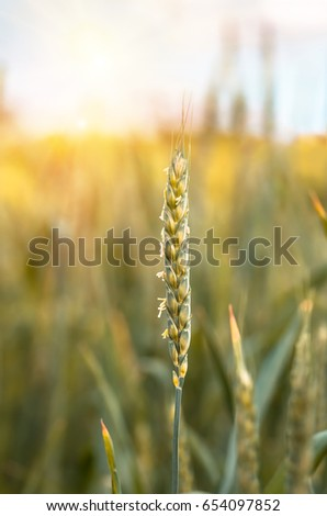 Green flowering wheat ear growing and maturing on the field in spring and summer, agricultural background