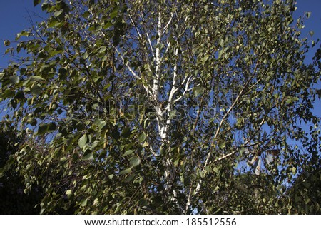 Green foliage of Betula pendula (silver birch) a  medium-sized deciduous tree, with wind pollinated catkin flowers in spring before the leaves appear  and a striking white trunk and branches. - stock photo