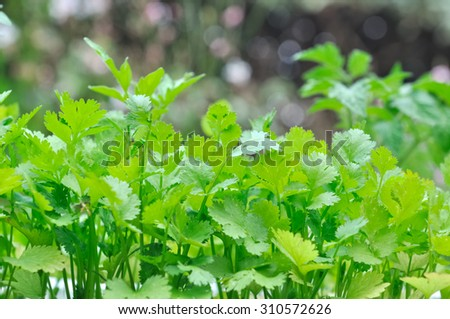 green foliage of chervil in garden  - stock photo