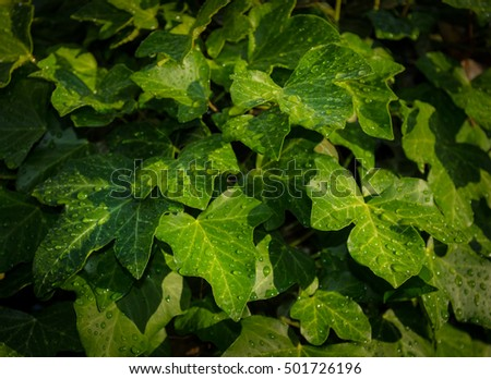 green foliage of common ivy