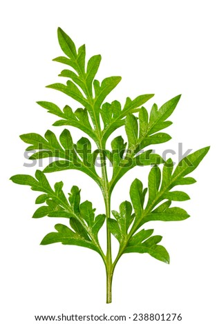 Green foliage of the Cosmos on white background with clipping paths - stock photo
