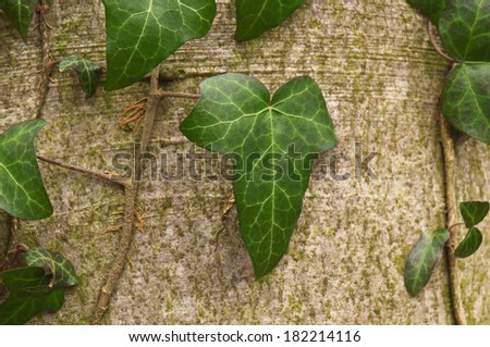 green forest ivy on the bark - stock photo