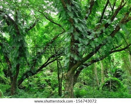 Green Forest - virgin, primeval rain forest with high trees - stock photo