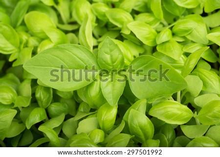 Green fresh Basil  background, basil background - stock photo
