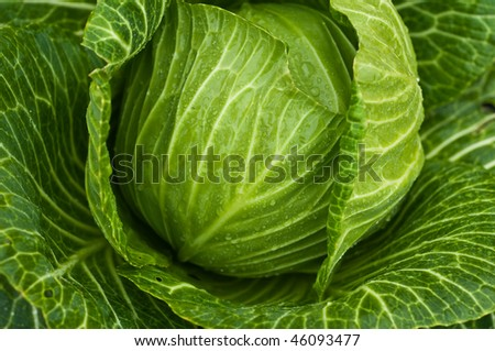 Green fresh cabbage with drops on leafs. Look for more in MY PORTFOLIO - stock photo