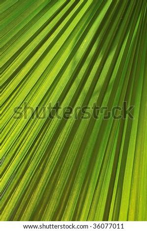 green fresh leaf of  palm background closeup - stock photo