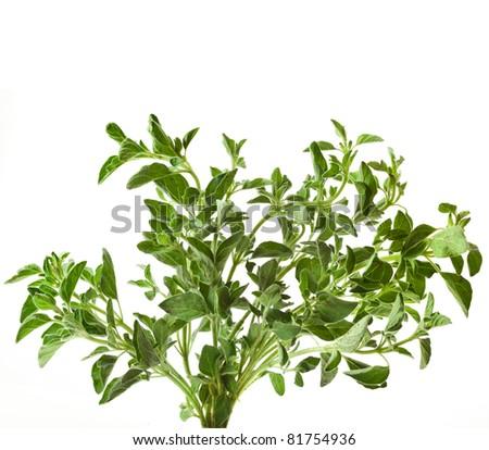 green fresh leaves oregano or marjoram (Origanum Vulgare L.) ) isolated - stock photo