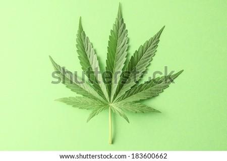 Green Fresh Marijuana Leaf with Seven Tips - stock photo