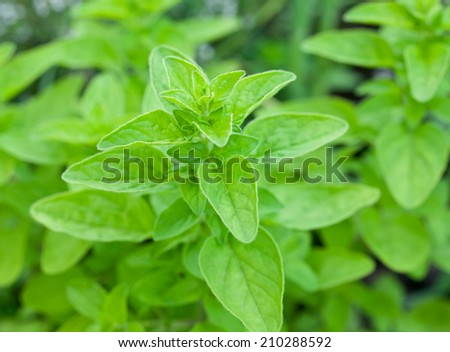 Green fresh marjoram herbs in the garden. - stock photo