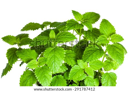 Green fresh Melissa in a pot isolated on the white background - stock photo