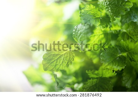 Green fresh melissa leaves close up - stock photo