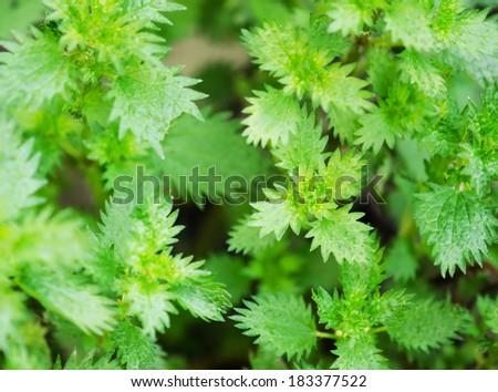 Green fresh nettles background. - stock photo