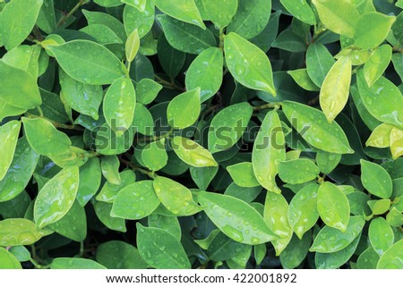 green fresh. Rain drops on fresh green leaves.Green background with leaves.  - stock photo