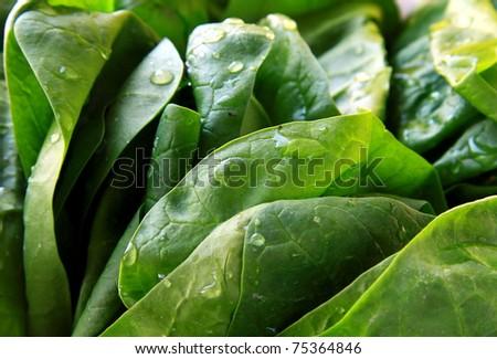 Green fresh spinach - stock photo