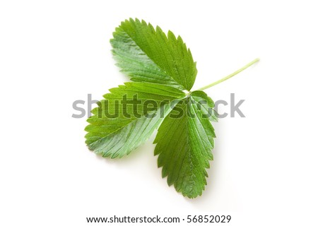 Green fresh strawberry leaf isolated on white