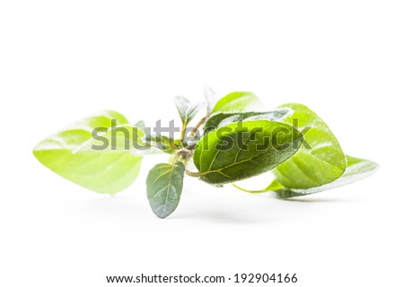 Green fresh twig of oregano isolated on white - stock photo