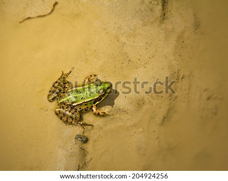 Green frog in the mud and shallow water. - stock photo
