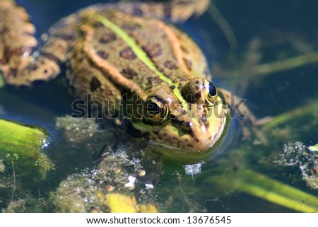 Green frog in the nature