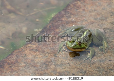 green frog in water, looking at the viewer - stock photo