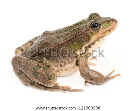Green frog isolated