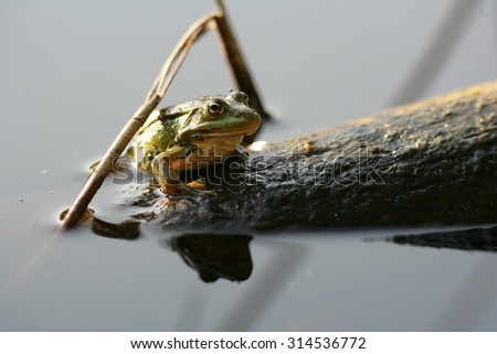 Green frog on a wood log in the water - stock photo