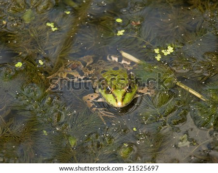 Green frog on the marsh.