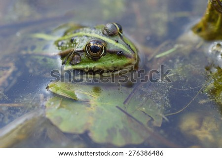 green frog Pelophylax esculentus in a Pond closeup - stock photo