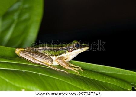 Green Frog perched on a green leaf on black background. - stock photo