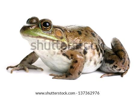 Green frog (Rana clamitans) - stock photo