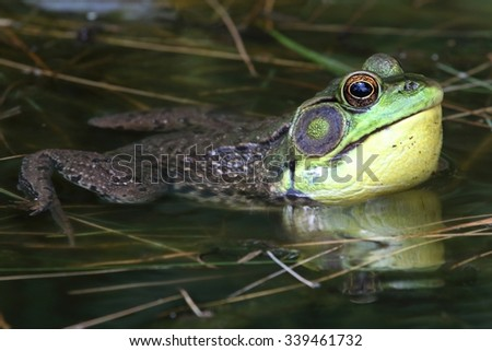 Green Frog (Rana clamitans) in a Pond with a bright yellow throat - stock photo