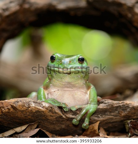 Green frog sitting on a log - stock photo