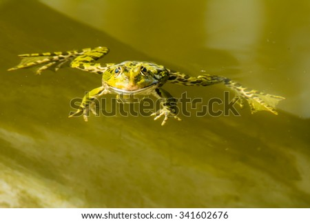 Green frog swimming in the water of a pond - stock photo
