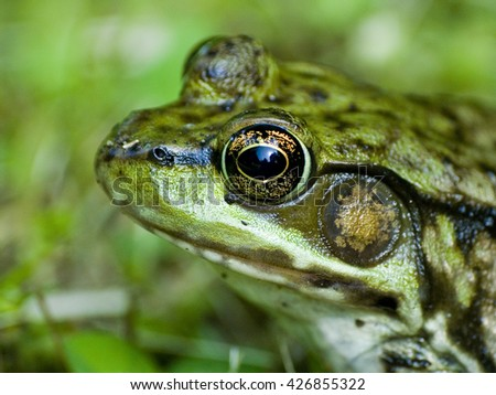 Green Frog up close in the grass, reflection in his eye of the sky. Lithobates clamitans - stock photo