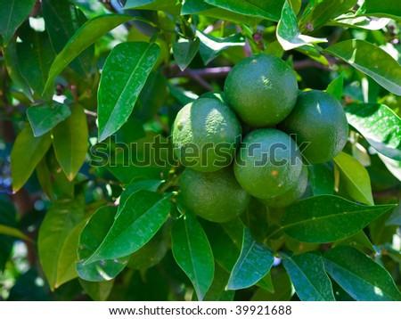 Green fruits of a lemon against leaves - stock photo