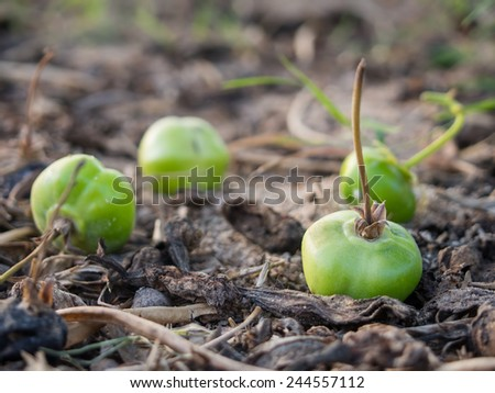 Green fruits on the ground. Selective focus. - stock photo