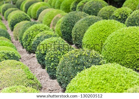 Green garden balls in France, Boxwood - stock photo
