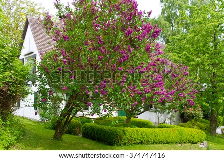 Green garden in spring with lilac - stock photo