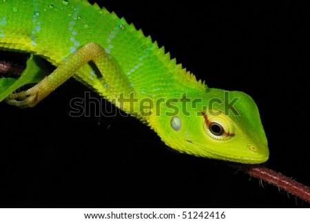 Green Garden Lizard in the Sinharaja Rain Forest, Sri Lanka - stock photo