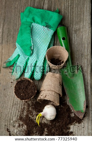 Green garden spade, gloves and pots with soil and garlic on old wooden desk - stock photo