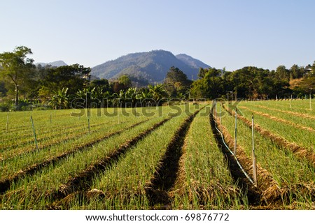 green garlic plantation - stock photo