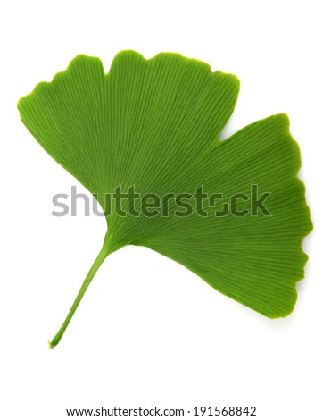 green ginkgo biloba isolated on white background - stock photo
