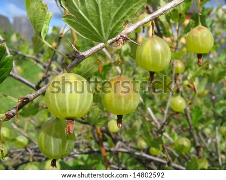 Green gooseberries close-up on the branch