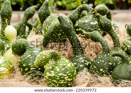 Green gourds at the pumpkin patch. - stock photo