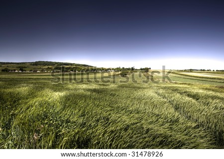 Green grain in windy day - stock photo